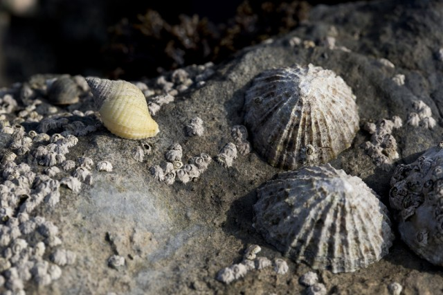 limpets-seasnails