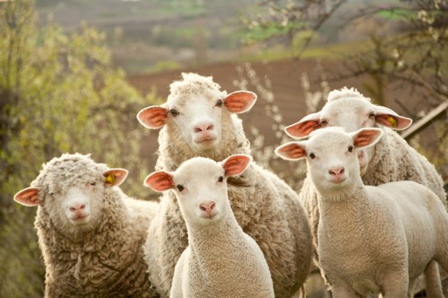 Sheep-Shutterstock