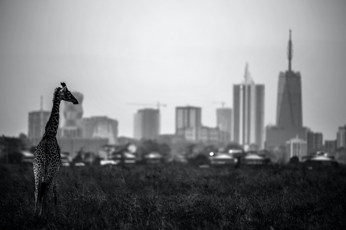 NAIROBI, KENYA - MARCH 13: (EDITORS NOTE; This images was converted into black and white from a color original file.) A giraffe is seen by the city skyline prior to the start of the Magical Kenya Open presented by Absa at the Karen Golf Club on March 13, 2019 in Nairobi, Kenya. (Photo by Stuart Franklin/Getty Images)