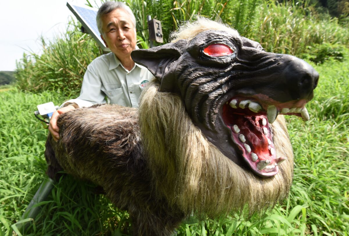 """Chikao Umezawa, head of the agricultural coopetative association JA Kisarazu-shi, shows a wolf-like robot """"Super Monster Wolf"""" to drive away wild animals that cause damages to crops in Kisarazu, Chiba prefecture on August 25, 2017. The agricultural coopetative association JA Kisarazu-shi introduced the 65cm-long and 50cm-high robot recently on a trial basis which can detect wild animals such as boars and deers with an infrared ray sensor when they approach and intimidates them, flashing the red LED eyes and blaring 48 types of sounds including a wolf growl and human voice. / AFP PHOTO / Toru YAMANAKA (Photo credit should read TORU YAMANAKA/AFP via Getty Images)"""