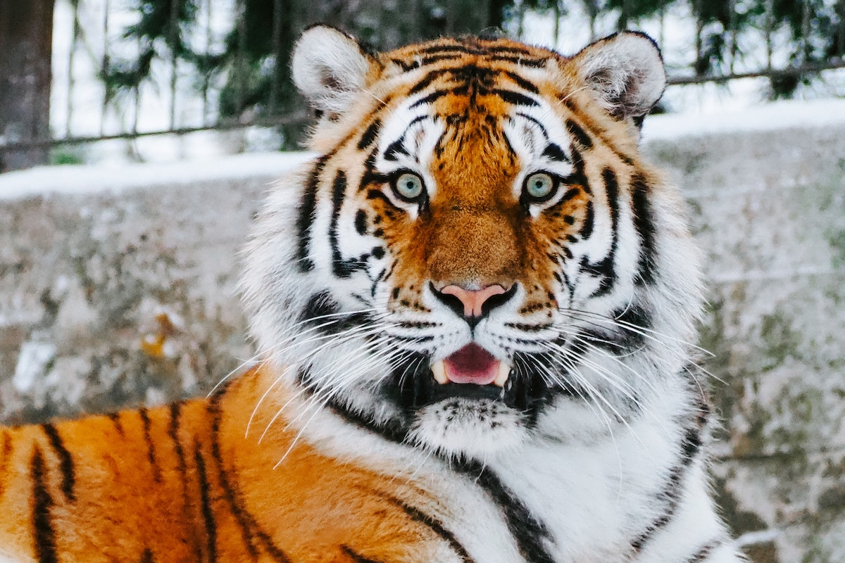 A tiger looks into the camera with a facial expression that looks surprised